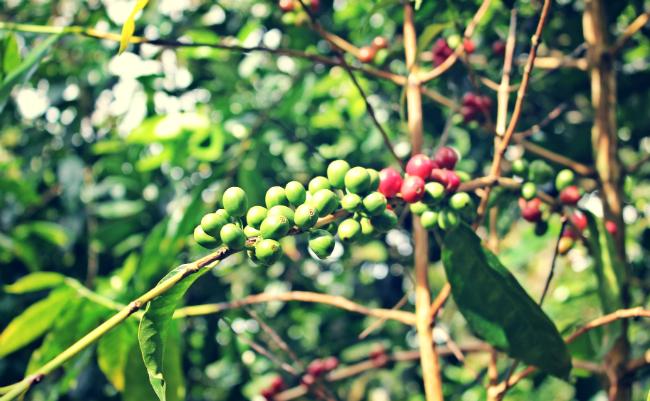 Cofeetree