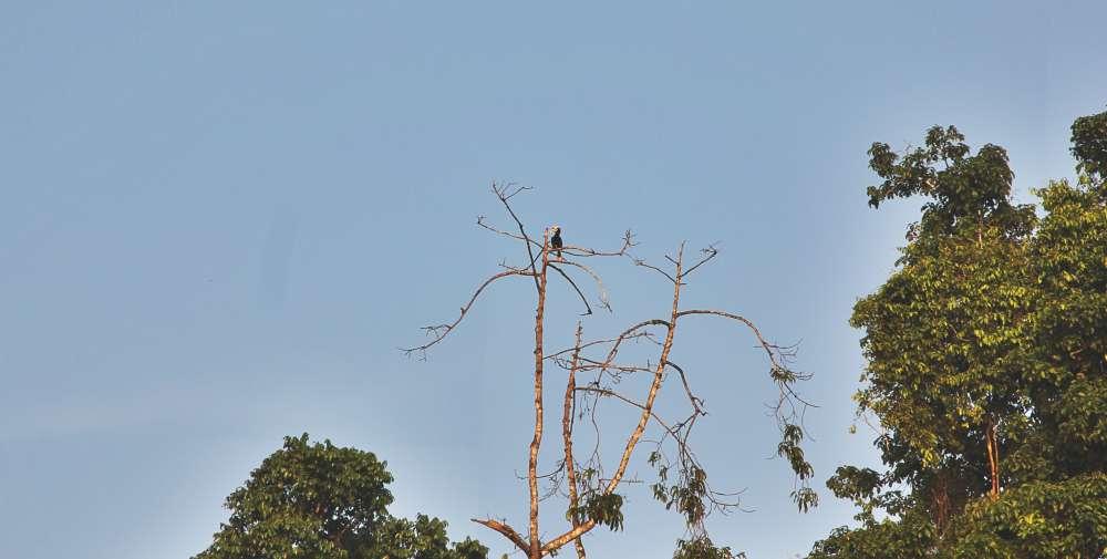Borneo_bird