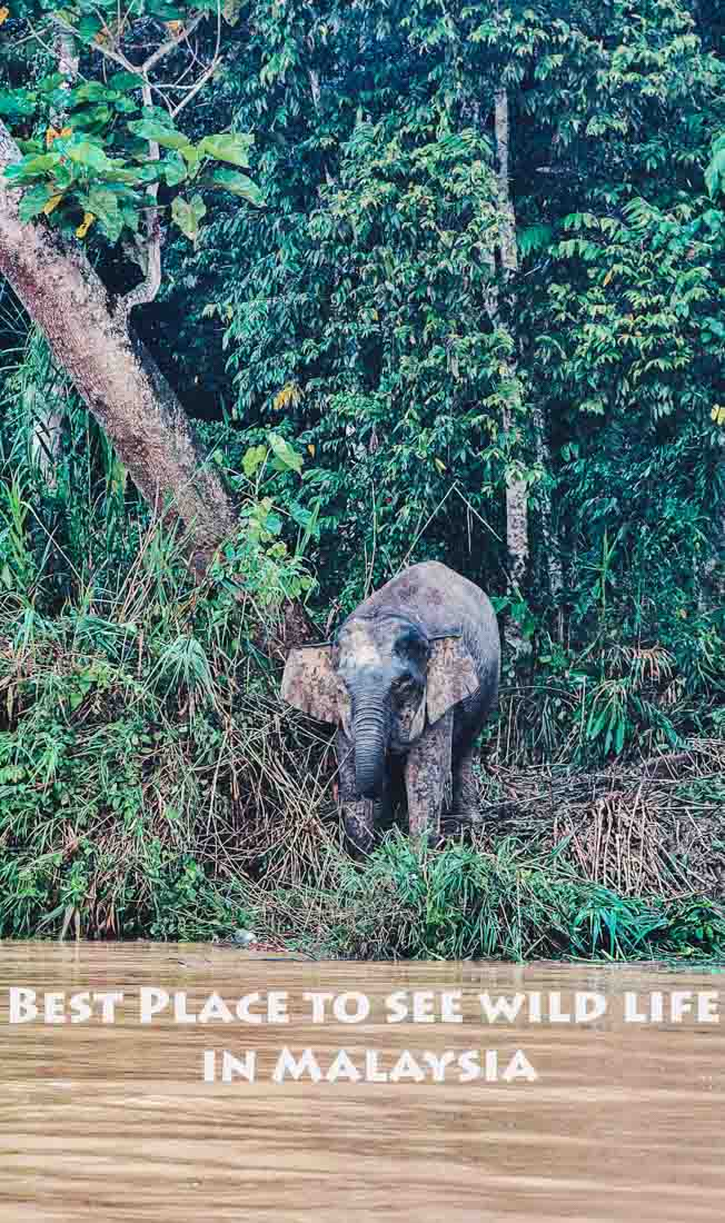 Pygmy elephants in Borneo