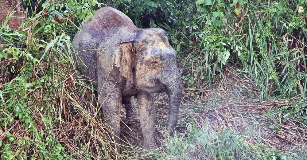 pygmy_elephant