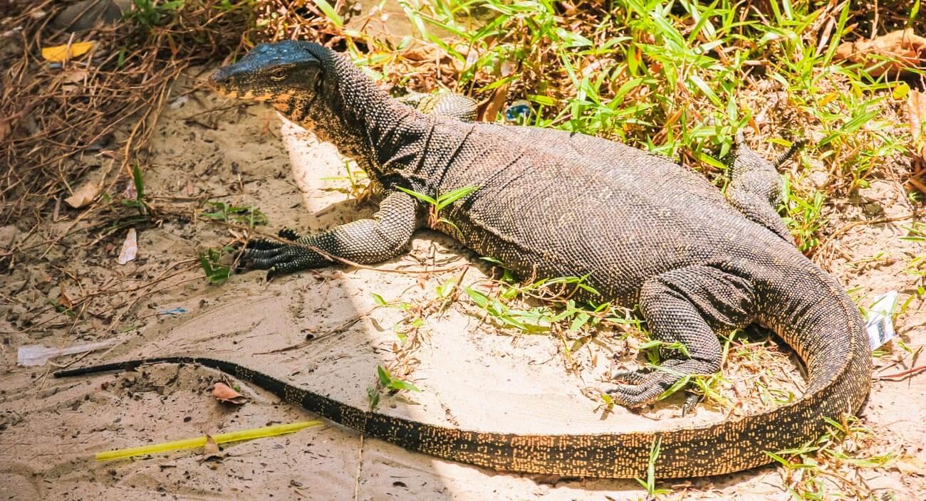 Kota Kinabalu Hopping Manukan island Lizard