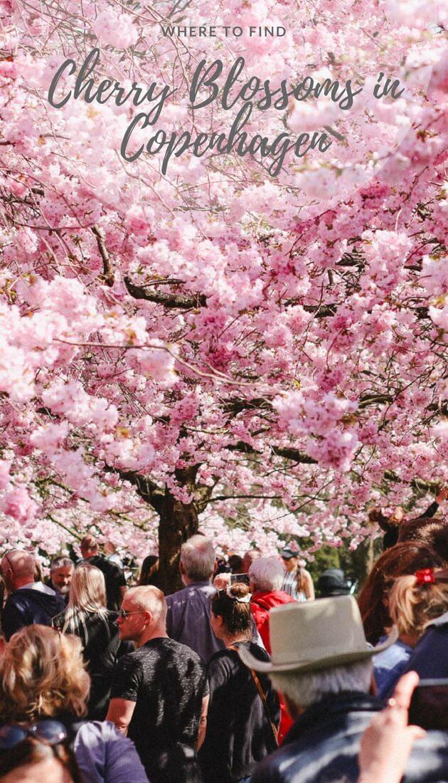 Where to find cherry blossoms in Copenhagen? A local's guide to Copenhagen's most blooming places. #Copenhagen #Denmark #Spring #Sakura