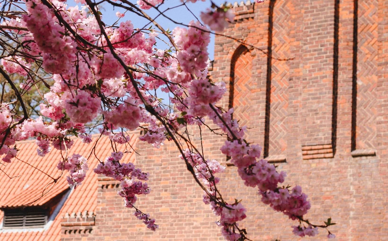 Cherry Blossoms eller Kinesere Elsker Links.