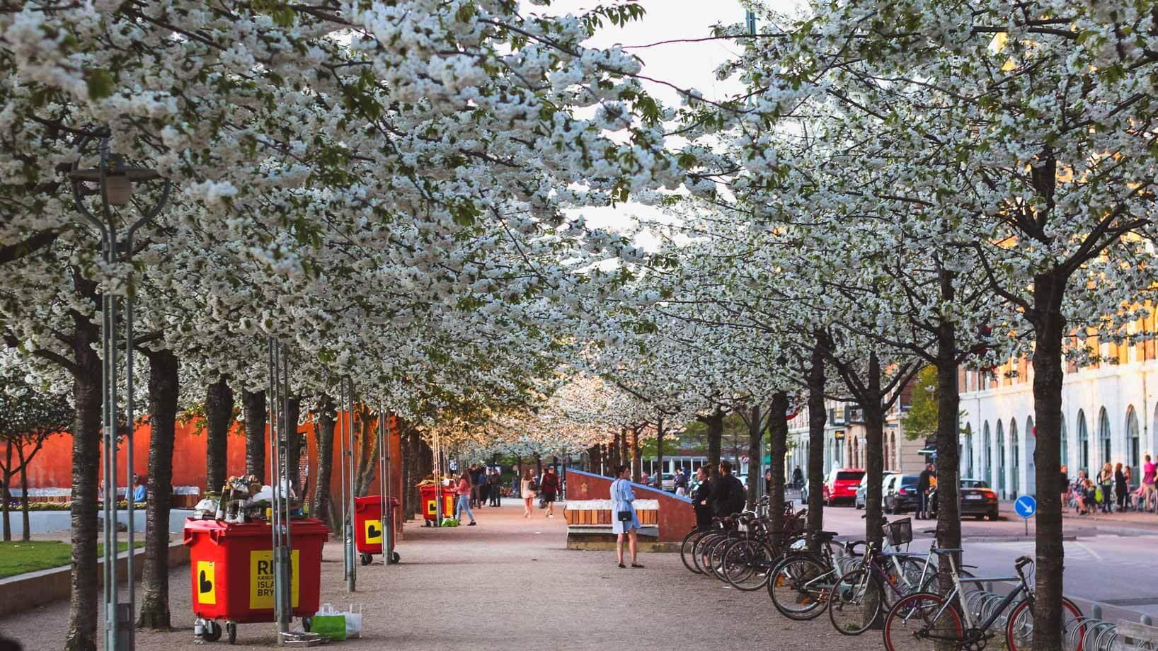 Cherry blossoms in Copenhagen, Islands Brygge