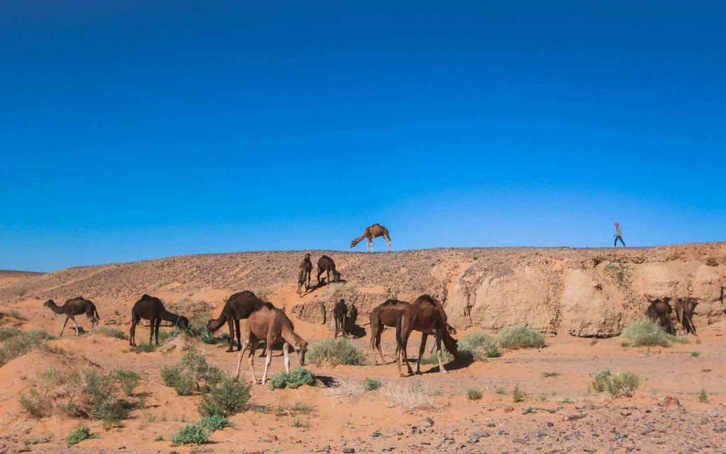 Merzouga-desert-tour-camels-One-Week-Morocco-Itinerary