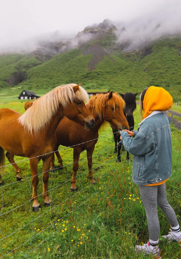 girl-feeding-Icelandic-horses