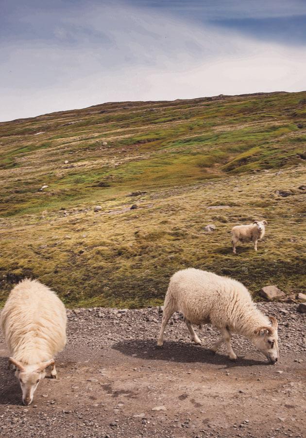 Icelandic-sheep
