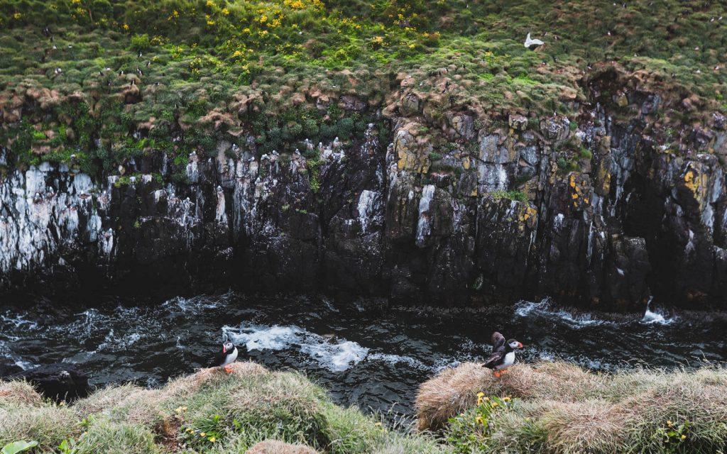 puffins-at-Borgarfjarðarhöfn-_-1